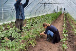 Tomaten worden ingedraaid in de touwen