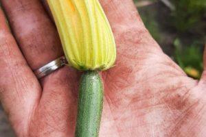 eerste courgette eraf, om meer vruchten te krijgen later