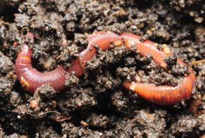 regenwormen in goede bodem