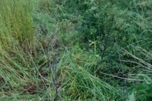 14 juni - de stekelhaag is weer zichtbaar. Er zijn heel wat boompjes en struikjes bevrijd. Morgen nog een stukje en de hele haag kan weer goed groeien.