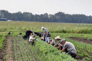 18 juni - oogstploeg aan't peultjes plukken