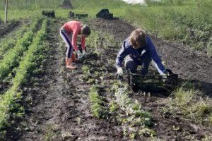 19 juni - nog net even oogsten voor de uitgifte